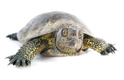 European pond turtle Stock Photo