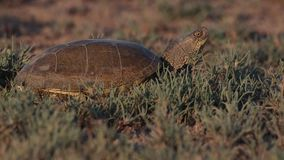 European pond turtle on meadow. European pond turtle, emys orbicularis, on meadow looks around and crawls away stock footage