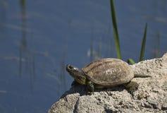 European Pond Turtle Royalty Free Stock Image