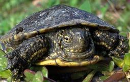 European pond turtle Stock Images