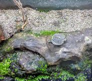 European pond turtle. On a wet rock Royalty Free Stock Images