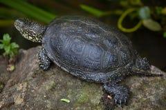 European pond turtle (Emys orbicularis). Stock Photo