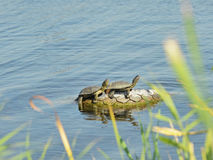 European pond turtles Stock Photo
