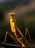 European praying mantis stock photography