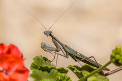 European praying mantis on geranium flower Royalty Free Stock Photos