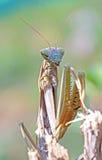 European praying mantis on a twig Stock Image
