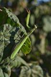 European or praying mantis (Mantis religiosa) Royalty Free Stock Photos