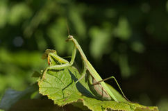 European or praying mantis (Mantis religiosa) Stock Photos