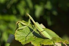 European or praying mantis (Mantis religiosa) Stock Photo