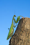 European or praying mantis (Mantis religiosa) Stock Images