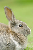 European Rabbit Stock Photography