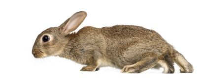 European rabbit or common rabbit, 2 months old. Oryctolagus cuniculus against white background stock photography