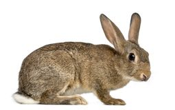 European rabbit or common rabbit, 3 months old. Oryctolagus cuniculus against white background royalty free stock image