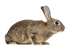 European rabbit or common rabbit, 3 months old. Oryctolagus cuniculus against white background stock images
