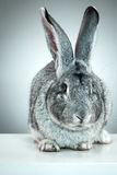 European rabbit or common rabbit, 2 months old, Oryctolagus cuniculus Royalty Free Stock Image