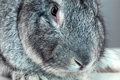 European rabbit or common rabbit, 2 months old, Oryctolagus cuniculus Royalty Free Stock Photos