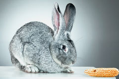 European rabbit or common rabbit, 2 months old, Oryctolagus cuniculus Stock Image