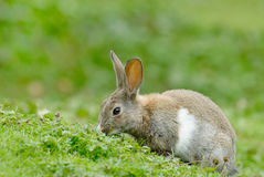 European Rabbit eating. European Rabbit (Oryctolagus cuniculus). The European Rabbit became a plague in Tierra del Fuego after its introduction a few decades ago stock photo