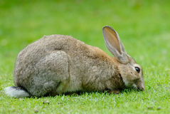 European Rabbit eating grass. European Rabbit (Oryctolagus cuniculus). The European Rabbit became a plague in Tierra del Fuego after its introduction a few royalty free stock images