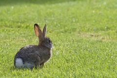 European Rabbit in the grass Royalty Free Stock Photos