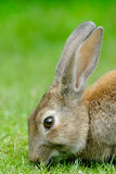 European Rabbit head detail. European Rabbit (Oryctolagus cuniculus). The European Rabbit became a plague in Tierra del Fuego after its introduction a few stock photos