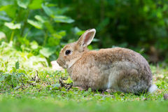 European rabbit Stock Images