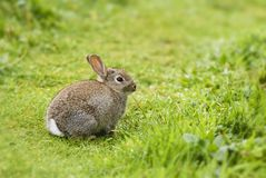 European Rabbit - Oryctolagus cuniculus stock image