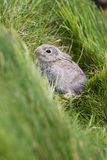 European Rabbit - Oryctolagus cuniculus royalty free stock photos