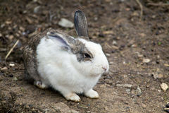 European Rabbit (oryctolagus cuniculus) Stock Photography