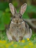 European Rabbit (Oryctolagus Cuniculus) Stock Photography
