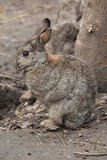 European rabbit (Oryctolagus cuniculus). Royalty Free Stock Images