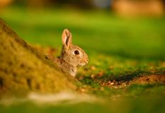 European Rabbit (Oryctolagus cuniculus) behind the tree Royalty Free Stock Photo