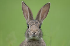 European rabbit (Oryctolagus cuniculus) Royalty Free Stock Images