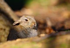European Rabbit (Oryctolagus cuniculus) Royalty Free Stock Photos