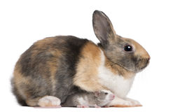 European Rabbit, Oryctolagus cuniculus, sitting Stock Images