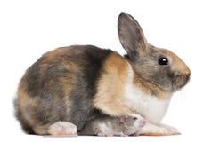 European Rabbit, Oryctolagus cuniculus, sitting Stock Images