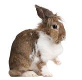 European Rabbit, Oryctolagus cuniculus, sitting royalty free stock image