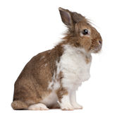 European Rabbit, Oryctolagus cuniculus, sitting Stock Photography