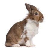 European Rabbit, Oryctolagus cuniculus, sitting Stock Photography