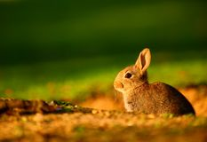European Rabbit (Oryctolagus cuniculus) in sunset Stock Image
