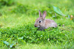 European Rabbit (Oryctolagus Cuniculus) Royalty Free Stock Photos