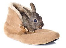 European rabbit in shoes Stock Image
