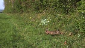 European Rabbit or Wild Rabbit, oryctolagus cuniculus, Young running through Meadow