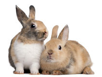 European Rabbits, Oryctolagus cuniculus, sitting. Portrait of European Rabbits, Oryctolagus cuniculus, sitting in front of white background Stock Image