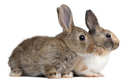 European Rabbits, Oryctolagus cuniculus, sitting. Portrait of European Rabbits, Oryctolagus cuniculus, sitting in front of white background Royalty Free Stock Photos
