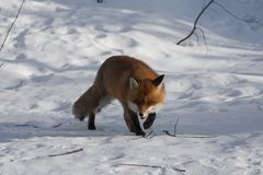 Fox in snow Stock Photography