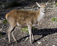 European red deer 3 Stock Photography