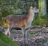 European red deer 7 Royalty Free Stock Images
