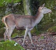 European red deer Royalty Free Stock Photos