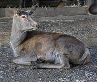 European red deer female 1 Stock Photos